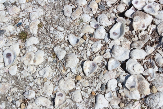Oyster shells on the ground in St Michaels.