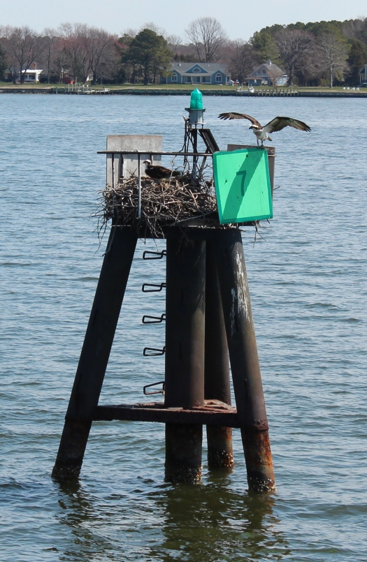 "A pair of osprey come to this channel marker every year to nest. Ospreys are monogamous but ""vacation"" separately every year. The Captain surmised that perhaps this is the secret to a lasting relationship!"