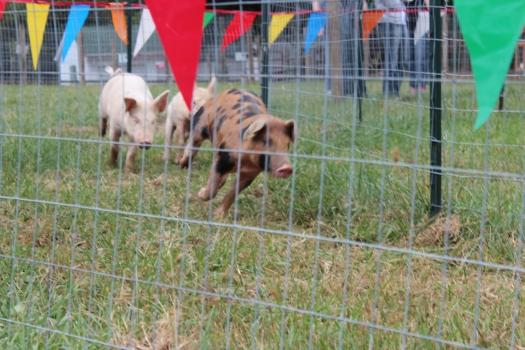 Run little piggy...run!