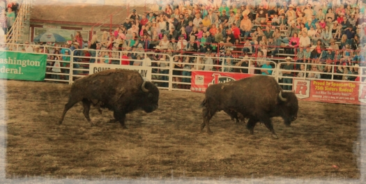 real live buffalos...